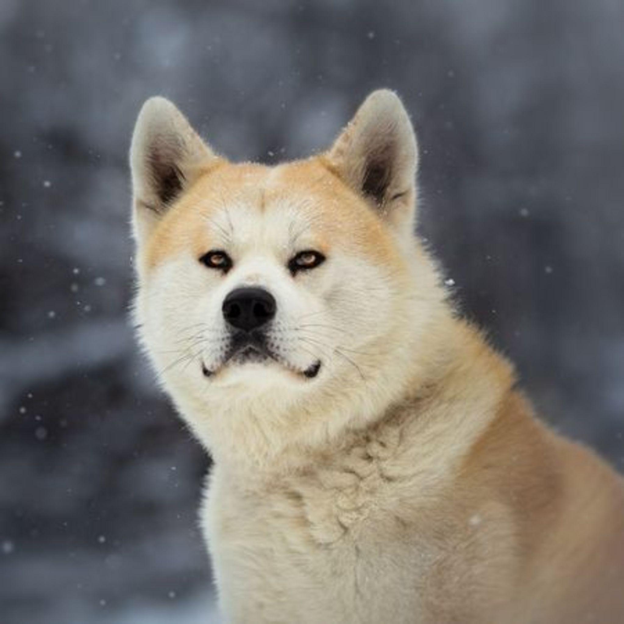 В Лофт Проекте ЭТАЖИ пройдет фестиваль японских собак