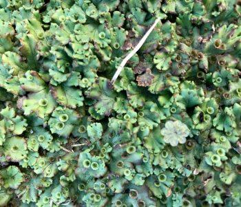Анастасия Потемкина. Marchantia Polymorpha при максимальном приближении